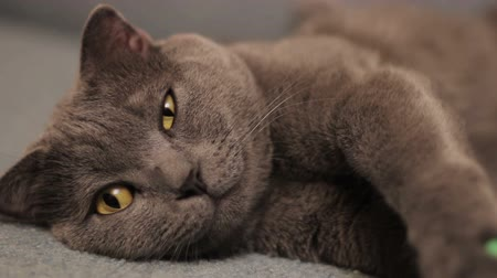 dilated pupils : British  shorthair gray cat lying on the sofa