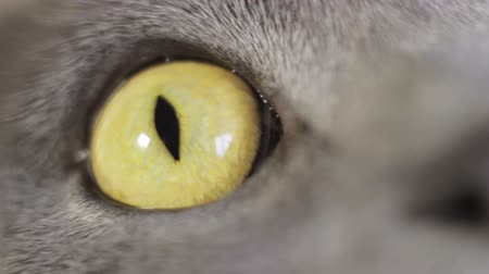 dilated pupils : British cat eye closeup, brown Stock Footage