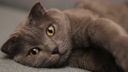 on the prowl : British  shorthair gray cat lying on the sofa