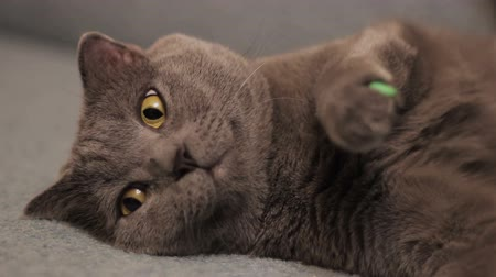 pounce : British  shorthair gray cat lying on the sofa