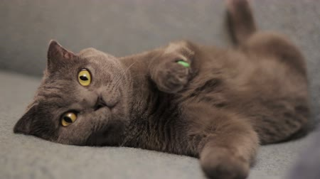 prowl : British  shorthair gray cat lying on the sofa