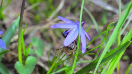 inculto : bee on blue snowdrops in spring forest Vídeos