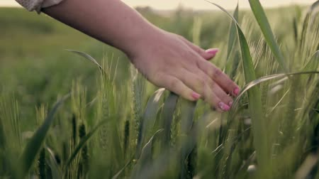 otruby : Hands of a woman running through a green field of wheat at sunset