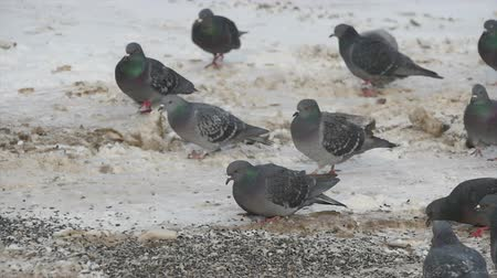 бдительный : A flock of pigeons eat sunflower seeds scattered on the ground