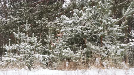timberland : Winter Christmas forest in snow, frosty forest