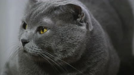 grey cat : A young British cat lying on a chair and looking at the camera, slow-motion shooting Stock Footage