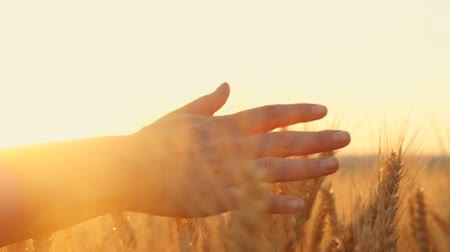 otruby : The hand of a woman passing through a field of wheat at sunset, touching the ears of wheat