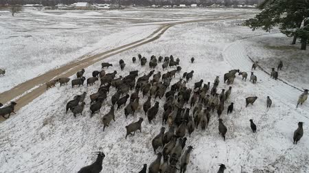 chamois : A herd of goats is moving across the snow-covered forest in search of food. Aerial shooting video 4k