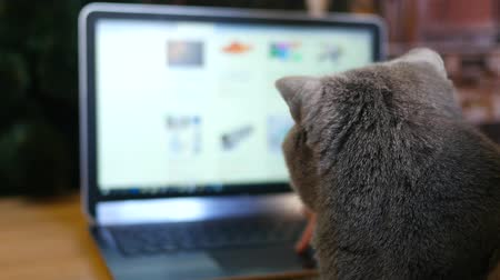 british cat : Girl and British cat gray with a laptop. Purchase online products for animals