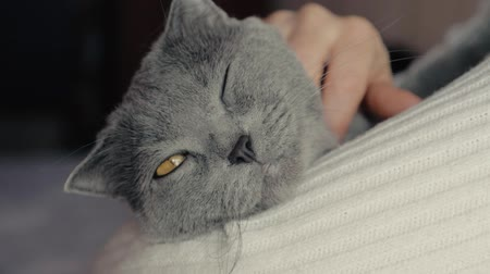 bichano : A girl holds a cat in her arms and stroking it. Grey British Shorthair cat. Vídeos