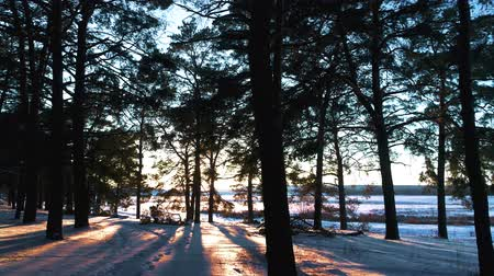 Winter coniferous forest in the sun at sunset