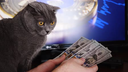 Вениамин : Businessman counting money at the table. Gray British cat looking at the money