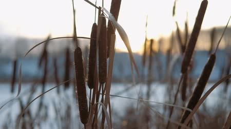 hófúvás : Wind Blowing Against Dried Reeds on a Winter sunny day.