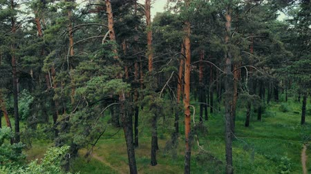 summer forest at sunset drone shot Stok Video