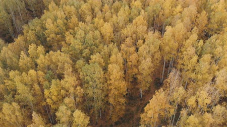 Looking down on amazingly beautiful autumn colors,forests,trees, aerial drone flyover view. drone shot Stok Video