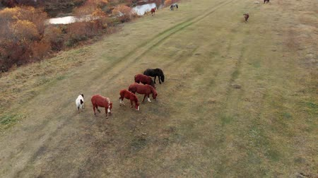 Aerial shot. Herd of horses in the autumn meadow by the river.