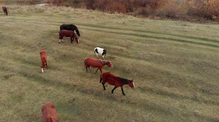 galope : Aerial shot. Herd of horses in the autumn meadow by the river.