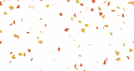 videotape : Red, orange, yellow maple leaves falling. Autumn leafage