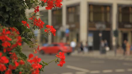 dusseldorf : A wonderful bush with red flowers on a European street