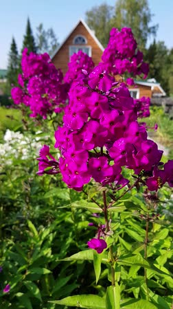 estames : Phlox, bright fuchsia flowers sway in the wind. Vertical close-up video.