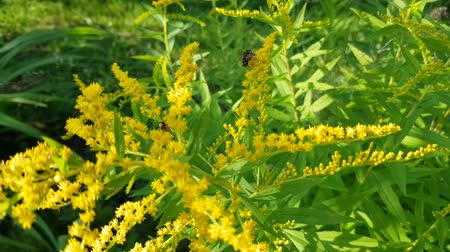 floweret : Goldenrod bright yellow flowers sway in the wind. Pollination of flowers with bees and wasps. Close-up video. Stock Footage