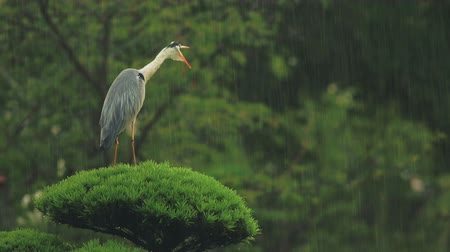 fırtına : Funny grey heron stretching his neck on top of a tree during a rainstorm (Ardea cinerea)