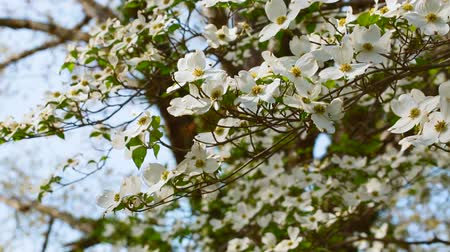 lehet : White dogwood tree branches blowing in the wind in spring