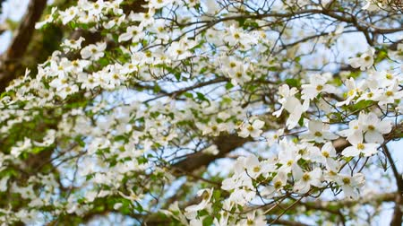 lehet : White dogwood tree branch moving in the wind in spring