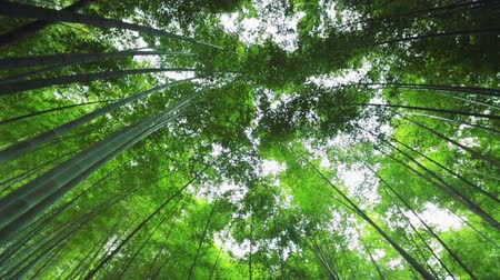 bambusz : Bamboo forest in Japan. Looking up at the canopy above while camera rotates