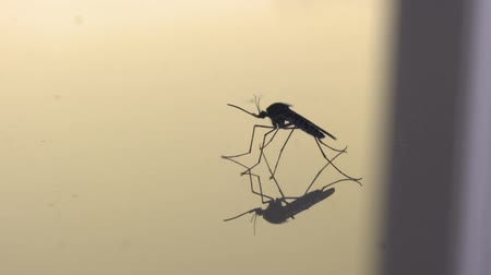 паразитный : Side profile of a mosquito on a reflective surface