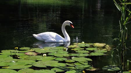 labuť : White swan feeds among the water lilies