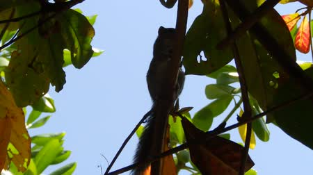 funambulus : Palm squirrel climbs a tropical  tree. Sri Lanka Stock Footage
