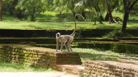 polonnaruwa : Monkey on the ruins Polonnaruwa. Sri Lanka Stock Footage