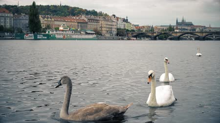 terracota : Prague, Czech Republic - OCTOBER, 2017: White Swans at Charles bridge, Vltava river. Charles bridge old town panorama , swan, duck, Czech republic. Swans at Charles bridge, Prague, Czech Republic. Stock Footage