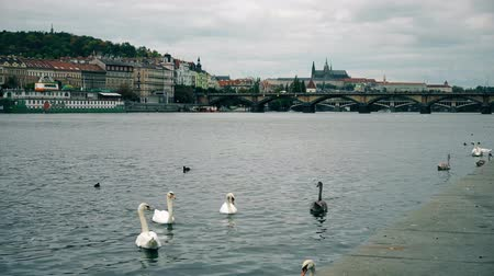 terrakotta : Prague, Czech Republic - OCTOBER, 2017: White Swans at bridge, Vltava river. old town panorama , swan, duck, Czech republic. Swans at bridge, Prague, Czech Republic.