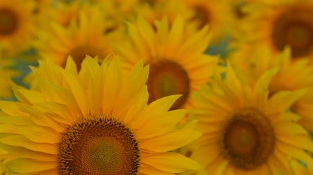 napfény : Sunflowers swaying in the light breeze on a sunny day. Stock mozgókép