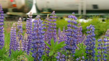 lupine : Purple lupines blooms in the fields. In the background a train is traveling slow motion Stock Footage