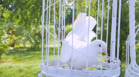 végre : white wedding pigeon wait in a cage on the newlyweds