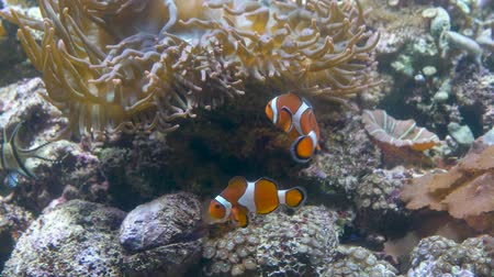 Close up. Aquarium. Stone bottom. brown sea Anemone. Near it swim two fish-clown Wideo