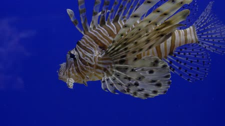 Close up. Bright blue background. Swims brown fish lionfish. Wideo