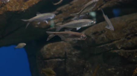 dark background. Aquarium. Little brown fish swim. Close-up.