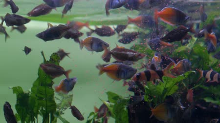 Aquarium. Near the surface of the water a flock of purple-pink fish eats food Wideo