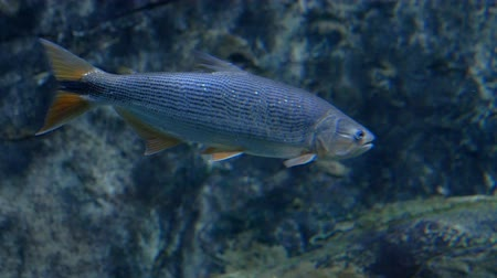 Aquarium. floating fish with gray shiny scales and brown tail and fins. Close-up