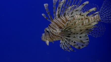 Close up. Bright blue background. Floating brown fish lionfish
