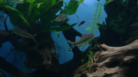 Aquarium. Swim small brown-silver fish with black stripe bright spots on fins.