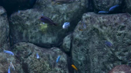 Aquarium. Stone background. A flock of blue little fish swims.