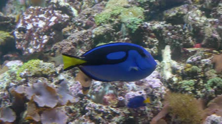 Close-up. A blue fish with a yellow tail swims in front of the camera. Wideo