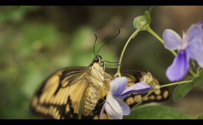 güve : An exotic butterfly sits on a flower. close-up. Stok Video