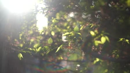 napsütéses napon : Sun flares on fresh crisp green tree leaves backlit