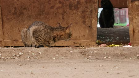 tabby cat : Homeless cat Stock Footage